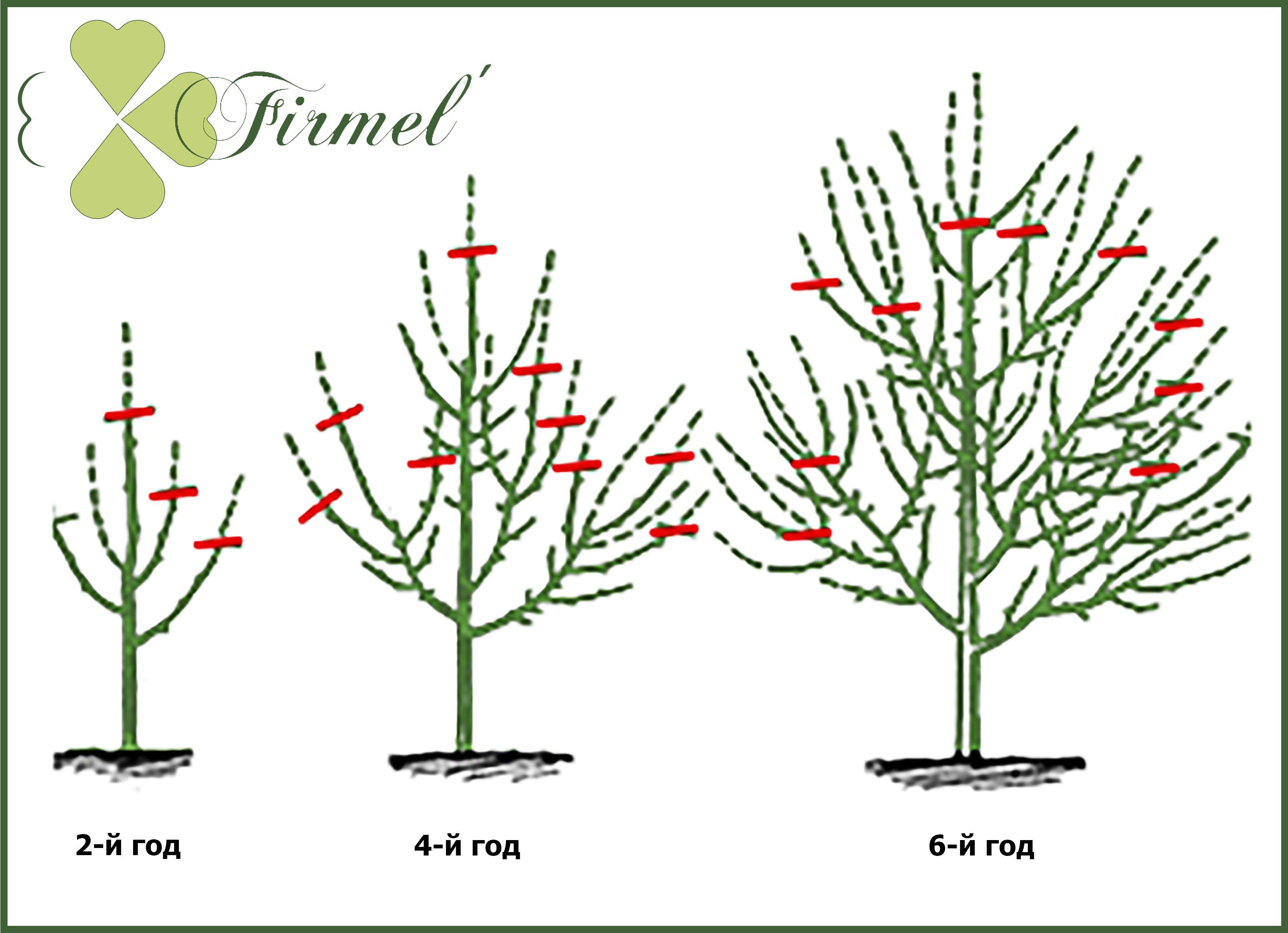 Обрезка колоновидных яблонь: схема как правильно обрезать 59